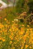 kwiaty łąkowego żółty Wiosny lub lata czas Fotografia Royalty Free