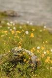 kwiaty łąkowego żółty Wiosny lub lata czas Obraz Stock