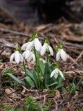 kwiaty śnieżyczkę fotografia stock