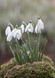 kwiaty śnieżyczkę zdjęcia royalty free