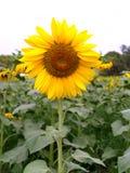kwiaty 04 słońce Zdjęcia Stock