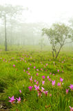 kwiaty 2 lily Syjam dziki Obraz Royalty Free