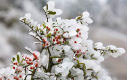 kwiaty 2 owoce pyracantha lodu. Zdjęcie Stock