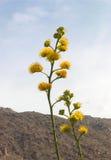 kwiaty agawa Obrazy Stock