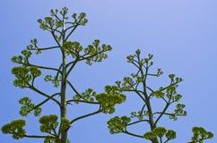 Kwiaty agawa Fotografia Royalty Free