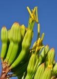 Kwiaty agawa Obraz Royalty Free