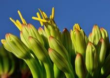 Kwiaty agawa Zdjęcia Royalty Free