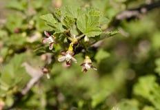Kwiaty agresta zakończenie, widoczni stamens i słupkowie, Obraz Stock