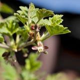 Kwiaty agresta zakończenie, widoczni stamens i słupkowie, Zdjęcia Stock