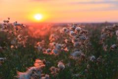 Kwiaty agrimony i łąki kwiaty na tle kolorowy zmierzch w lecie Zdjęcie Royalty Free