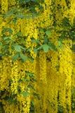 Kwiaty akacja obrazy stock