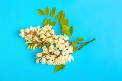 Kwiaty akacja obraz royalty free