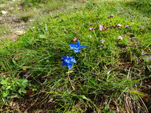 Kwiaty Alps Obrazy Royalty Free