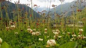 kwiaty altay góry Rosji obrazy royalty free