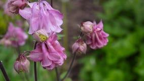 Kwiaty Aquilegia vulgaris lub Europejska kolombina w wiatrze zbiory wideo