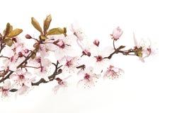kwiaty azalii blisko dof p?ytkie pojawi si? kwiat zdjęcia stock