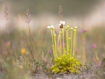 Kwiaty bagno trawa Parnassus z insektem obrazy stock