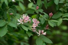 Kwiaty banksja Zdjęcia Royalty Free