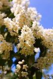 Kwiaty biała akacja przeciw zielonemu ulistnieniu fotografia royalty free