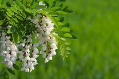 Kwiaty biała akacja w kropelkach ranek rosa zaświecają promieniami słońce Zamazany zielony tło dla umieszczać inscrip fotografia stock