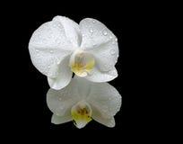 Kwiaty białe orchidee w rosa kroplach zamkniętych up na czerń plecy Zdjęcia Stock