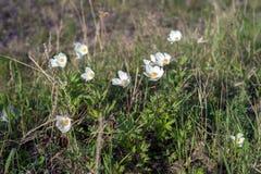 Kwiaty białych anemonów Anemonowy nemorosa r na wiosny łące fotografia stock