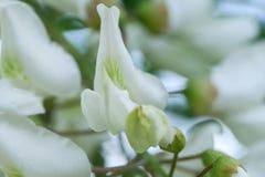 Kwiaty bia?a akacja obraz stock