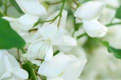 Kwiaty bia?a akacja fotografia royalty free