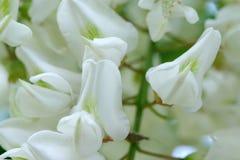 Kwiaty bia?a akacja obrazy stock