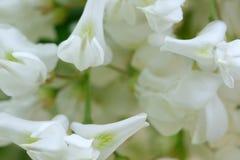 Kwiaty bia?a akacja zdjęcia royalty free