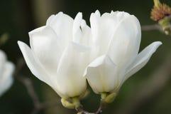 Kwiaty biała magnolia ja Zdjęcia Stock