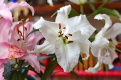 Kwiaty bielu i menchii leluj ogrodowy zbliżenie Zdjęcie Royalty Free