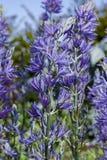 Kwiaty Camassia leichtlinii ampuła Camas zdjęcie stock