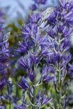 Kwiaty Camassia leichtlinii ampuła Camas obraz stock
