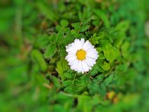 Kwiaty chamomile Zdjęcia Stock