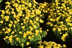 Kwiaty chryzantema cytryna Obrazy Stock