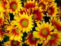 kwiaty chryzantema czerwonego żółty Fotografia Royalty Free