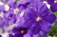 kwiaty clematis gradientowego wektora Purpurowego clematis kwiaty Obraz Royalty Free