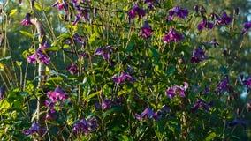 Kwiaty Clematis próbuje dosięgać słońce przed niebieskim niebem, kwadrat kamer niecki przez krzaków od nakrywają puszek zbiory wideo