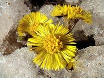 Kwiaty coltsfooct w śniegu Obraz Stock