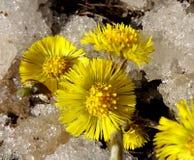 Kwiaty coltsfooct w śniegu Zdjęcie Royalty Free