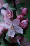 kwiaty crabapple Zdjęcia Stock