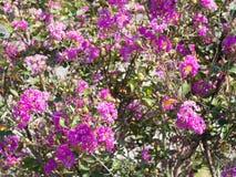 Kwiaty crape mirt zdjęcie stock