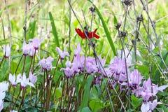 Kwiaty cyklameny i czerwony anemon w naturze zdjęcia royalty free