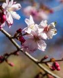 Kwiaty czereśniowego drzewa kwitnąć obrazy stock