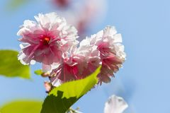 kwiaty czereśniowego japońskiej zdjęcia stock