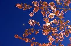 kwiaty czereśniowego japońskiej Obraz Stock