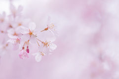 kwiaty czereśniowego japońskiej obraz royalty free