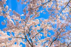 kwiaty czereśniowego japońskiej przeciw tła pojęcia kwiatu wiosna biały żółtym potomstwom Obrazy Stock