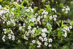 Kwiaty czereśniowi okwitnięcia na wiosna dniu Obraz Stock
